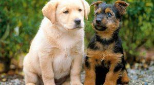 Köpek Eğitimi Göz Teması