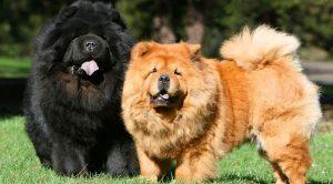 American Bulldog Köpek Eğitimi