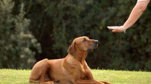 köpek eğitimi golden