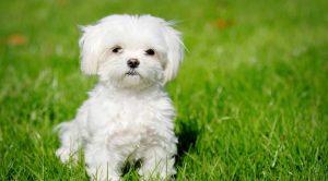 Yavru Ev Köpekleri Satışı