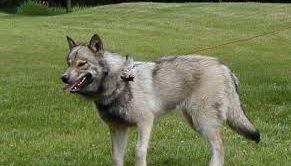 Wolf Dog Hybrid Satılık Yavru