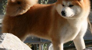 Akita İnu Köpek Eğitimi
