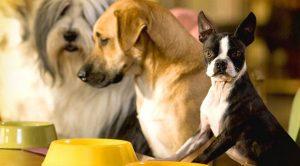 Alman Kurdu Köpek Eğitimi