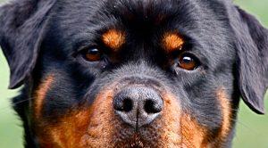 Satılık Rottweiler Ankara