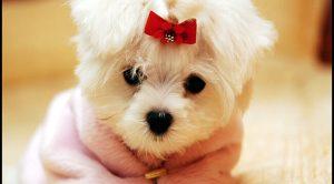 Yavru Köpek Satışı